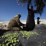Olijvenoogst in de buurt van Hebron (bron: Getty Images)